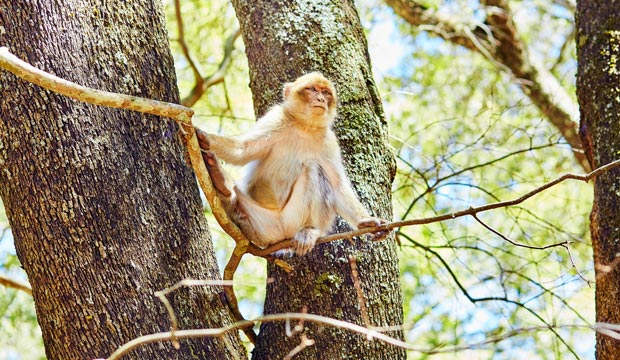 The Barbary macaque is present in Morocco, Ifran in the national park