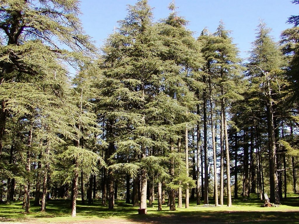 The cedar forest in Ifrane (Morocco)