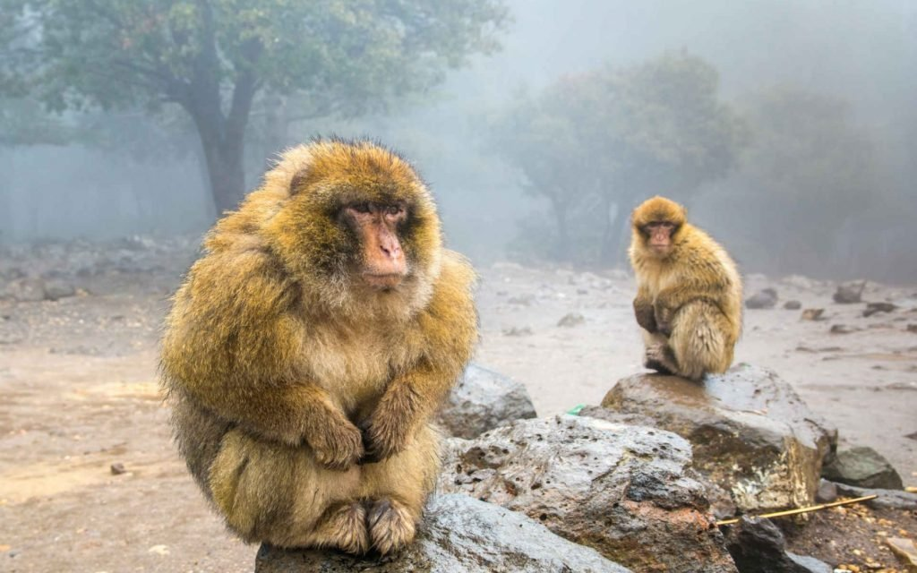 In the Ouzoud Waterfalls in Morocco the presence of monkeys is very high